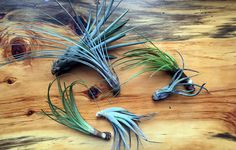 4 Ways To Make Your Air Plants Thrive …
