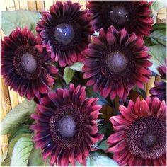 "25 Seeds, Sunflower ""Procut Red"" (Helianthus annuus) Seeds By Seed Needs Seed Needs: Flowers Garden Seeds, Planting Seeds, Garden Pots, Planting Sunflowers, Sunflowers And Daisies, Wildflowers, Sunflower Garden, Sunflower Seeds, Gerbera"