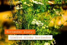 Koriander siaty sa oplatí jesť! Liečivé účinky koriandra ho predurčujú na použitie v kuchyni Parsley, Herbs, Cilantro, Herb, Medicinal Plants