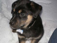 German Shepherd Labrador Retriever | Dog German Shepherds