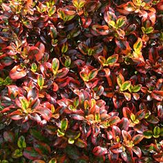 Mirror plant (Coprosma 'Tequila Sunrise') | What to Plant in the Shade