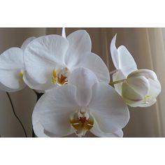 Presente da natureza! Floresceu aqui em casa como se me agradecesse por todo o cuidado! ❤ Se quiser saber como cuido tem todas as dicas lá no blog https://frescurasdatati.com/…/cultivando-orquideas-sem-com…/ #frescurasdatati #orquídea #inlove #amoorquideas #plantasemcasa #floresemcasa #primavera #primaveresse #orquídeas