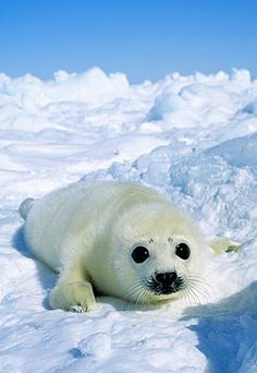 """Baby harp seal.  Genus: pagophilus which means """"ice lover"""""""