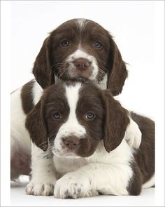 An poster sized print, approx mm) (other products available) - Working English springer spaniel puppies, age 6 weeks. - Image supplied by Nature Picture Library - poster sized print mm) made in the UK Cute Puppies, Cute Dogs, Dogs And Puppies, Doggies, Corgi Puppies, Springer Puppies, Working Springer Spaniel, Animals And Pets, Cute Animals