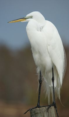 Great Egret by ~1ladybug~Off and On, via Flickr breeding plumage
