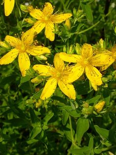 Use St John's Wort as a stress buster and for anxiety relief. Lush Garden, Garden Plants, St Johns Wort Plant, Bee Friendly Plants, Edible Wild Plants, Heuchera, Garden Photos, Drying Herbs, Medicinal Plants