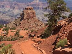 South Kaibab Trail - Grand Canyon, AZ, United States. Mule train headed up the trail with Cedar Ridge below.
