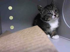 SAFE! TO BE DESTROYED 6/24/14 ** BABY ALERT! ONLY 10 WEEKS OLD!! ** Manhattan Center  My name is SIO. My Animal ID # is A1003807. I am a female brn tabby and white domestic sh mix. The shelter thinks I am about 10 WEEKS old.  I came in the shelter as a STRAY on 06/19/2014 from NY 10035, owner surrender reason stated was STRAY. I came in with Group/Litter #K14-182541.