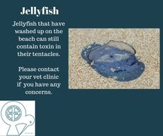 Jellyfish that are washed up on beaches can still contain toxin in their tentacles