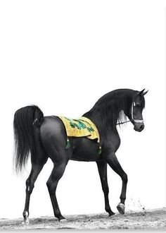 This beautiful black Arabian makes me want to read The Black Stallion by Walter Farley again. Such elegance!