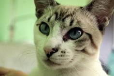 Siam cat** Angel* incredible blue eyes <3 love him !! his look is really mysterious, isn´t it?