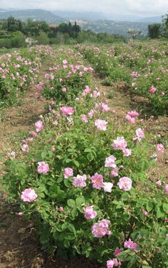 Rose fields for the perfume industry