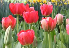 how to get tulips to return for the most amount of years