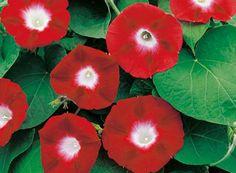 Morning-Glory-Crimson-Rambler1