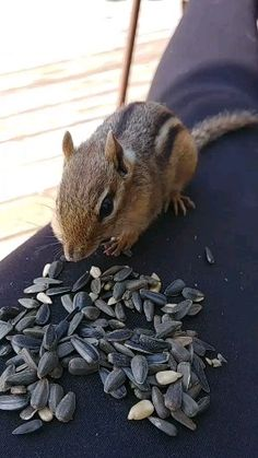 Wildlife video of chipmunk eating off my lap vc Super Cute Animals, Cute Funny Animals, Zoo Animals, Animals And Pets, Beautiful Creatures, Animals Beautiful, All Things Cute, Cute Little Baby, Cute Mugs