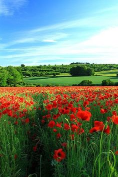 Poppy Vista 2 by kernowrules on Flickr (Gloucestershire, England)