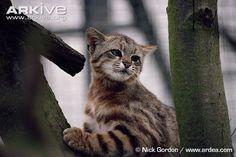 Leopardus colocolo:Pampas cat