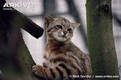 Leopardus colocolo:Pampas cat