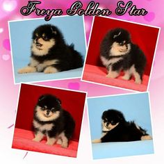 FOR SALE! Adorable pomeranian girl, Freya Golden Star. Date of birth 11.03.2017.  Beautiful coat bright color. �� Teeth 6*6, scissors bite.  Fontanelle no since birth.  Worldwide shipping! ������ All vaccines, documents FCI, vet passport.  Girl,  grown in huge love and care!  Girl was shown to a serious expert, everything is fine! Without any flaws!  I will answer all your questions in personal message or whatsapp +79889910363. ������ Предлагается к продаже породная девочка померанского…