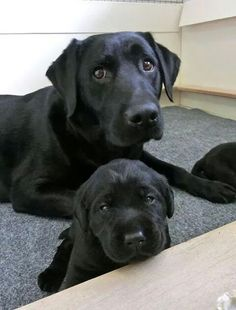 Oh the memories, we had a large litter of black labs once, it was heaven! So happy!