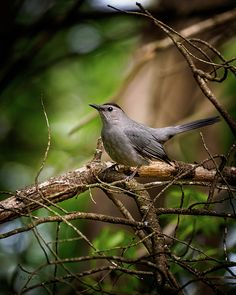 Gray Catbird - Original fine art Ornithology photography by Bob Orsillo. Copyright (c)Bob Orsillo / www.orsillo.com - All Rights Reserved.  Buy original wildlife / bird photography at www.boborsillo.com