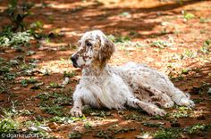 Resting but alert [Banjo, English Setter] Dog Photos, Dog Pictures, Animals And Pets, Cute Animals, Hunter Dog, Irish Setter, Free Dogs, Animal Wallpaper, Mans Best Friend