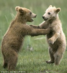 Brown bear cubs tussling in Alaska