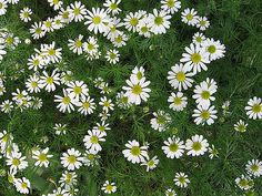 Roman Chamomile  Plant Roman Chamomile between the steps of your garden to create a fragrant footpath. Roman Chamomile is easy to grow and doesn't require much attention at all.