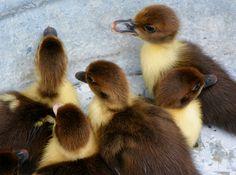 Ducks in a bucket
