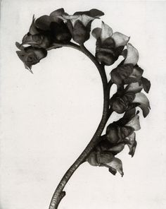 MORE TO LOVE: UNLIKELY GARDENERS. From Karl Blossfeldt's faunal specimen to Araki's suggestive flora, see our pick of great gardens through the lens of photography masters. Karl Blossfeldt, Natural Forms Gcse, Natural Form Art, Still Life Photography, Fine Art Photography, Nature Photography, Botanical Art, Botanical Illustration, Organic Shapes