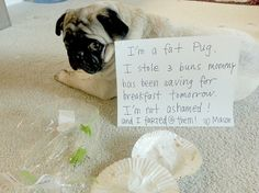 Little Troublemaker ;) But we still love you, Mason :) Fat Pug, Pug Meme, Funny Things, Funny Stuff, Cat Shaming, Still Love You, Pugs, Cute Dogs, Dog Cat