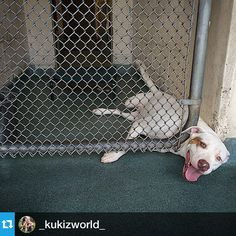 ‪#‎Repost‬ from @_kukizworld_ with @repostapp --- PLEASE HELP ‪#‎ROXY‬ ‪#‎A1636580‬ .... #Roxy begs and cries when you come around her kennel hoping someone will stop and HELP HER !!! #Roxy was DUMPED by her owner at the Miami Kill Shelter and on top of that #Roxy is ‪#‎HeartWorm‬ positive but unfortunately that hurts the chances of this baby getting adopted .... HeartWorm is treatable and no reason to at all for #Roxy to lose her life over .... Please if you can help save #Roxy ACT FaSt…