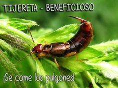 tijereta, insecto beneficioso para el #huerto, se alimenta de pulgones