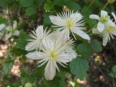 Clematis ligusticifolia, heavenly scented, Summer-blooming vine