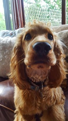 """See our web site for additional info on """"English cocker spaniel"""". It is actually an exceptional area to get more information. Perro Cocker Spaniel, Golden Cocker Spaniel, American Cocker Spaniel, Golden Cocker Retriever, Spaniel Breeds, Dog Breeds, Cute Puppies, Dogs And Puppies, Pet Dogs"""