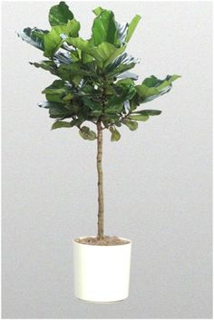 fiddle leaf fig tree with non twisted stem. Should sit to right of east window console. Buy at Bellevue Nursery on Bellevue way. Buy pot from them. Any ceramic that you like the color or creamy white. Buy some dry moss and infill the top of the pot after you set the plant in. Follow all their care and transport instructions.