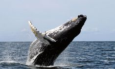 While many of the world's species of marine mammals migrate, none go the distance like giant baleen whales. The gray whale (which travels as Whale Watching Cruise, Whale Watching Tours, Orcas, Baleen Whales, Visit South Africa, Costa Rica, Most Beautiful Animals, Blue Whale, Humpback Whale