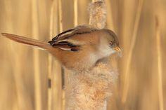Mooi vrouwtje Fotograaf: kasteelheertje Baardmannetje (vrouwtje)