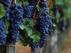 Lots of people like drinking wine, but we often forget to appreciate it's beginnings - grapes of the vine can be more beautiful than the wine <3 <3 <3