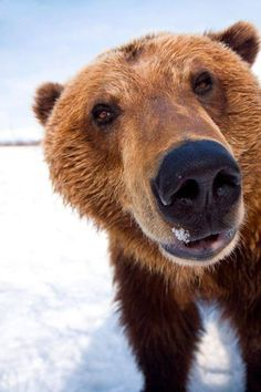 Captive Extreme Close-Up Of Brown Bear At The Alaska Wildlife Conservation Center Southcentral Alaska Winter Canvas Art - Doug Lindstrand Design Pics Animals And Pets, Baby Animals, Funny Animals, Cute Animals, Baby Pandas, Baby Bears, Nature Animals, Beautiful Creatures, Animals Beautiful
