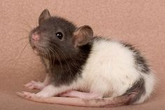 de - Mollys Babys Best Picture For Rodents illustration For Your Taste You are looking for something, and it is going to tell you exactly what you are looking for, and you didn't find tha Animals And Pets, Baby Animals, Funny Animals, Cute Animals, Rata Dumbo, Rat Care, Dumbo Rat, Fancy Rat, Cute Rats