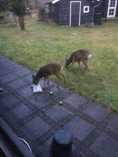 Mischievous deer being rewarded