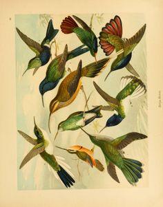 Hummingbirds, Album de aves amazonicas,  Emil August Göldi, 1900.