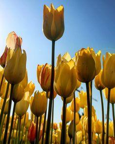 Laleler.. #laleler #tulips #aniyakala #zamanidurdur #hayatakarken #objektifimden #benimkadrajım #gününkaresi #gününfotografi #bestoftheday #photooftheday #istanbuldayasam #istanbulda1yer #istanbulturkish #aziz_istanbul #aziz_anadolu #igersmood #igsupervizor #turkobjektif #turkinstagram #gencgezginler #haftasonufotoğrafçıları