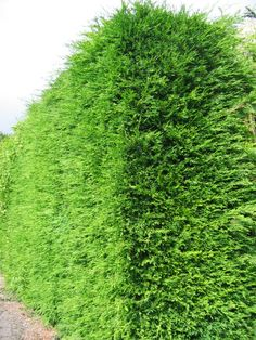 Leylandii  forms a garden hedge faster than anything else. As a result it is also the cheapest at larger sizes. Leylandii is very hardy and wind tolerant. Any free-draining soil in sun or shade. Rate of growth: up to 100cm per year
