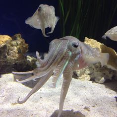 Watch out for the tentacles! Pharaoh #cuttlefish have eight short arms with two long tentacles neatly tucked in the middle--ready to unfurl and snatch prey.