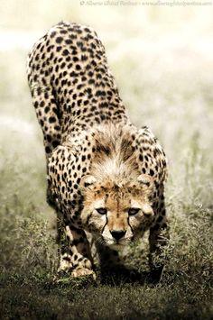 El guepardo, también llamado chita, es un miembro atípico de la familia de los félidos. Es el único representante vivo del género Acinonyx. Caza gracias a su vista y a su gran velocidad.