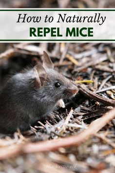 Trying to figure out how to get rid of mice without all of the chemical poison products on the store shelves? Then you'll love our tips on how to naturally repel mice.
