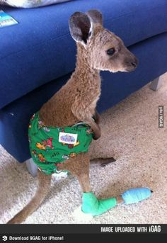 Meet baby Joey recovering from forest fire injuries