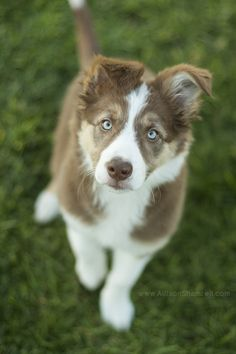 san diego puppy photo - This is Beatrix, the border collie puppy! She was just 10 weeks old when I met her!